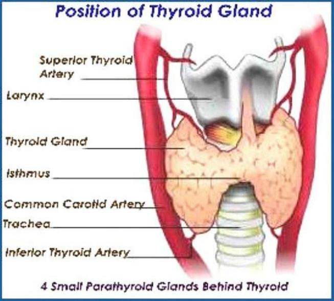 how to feel your thyroid